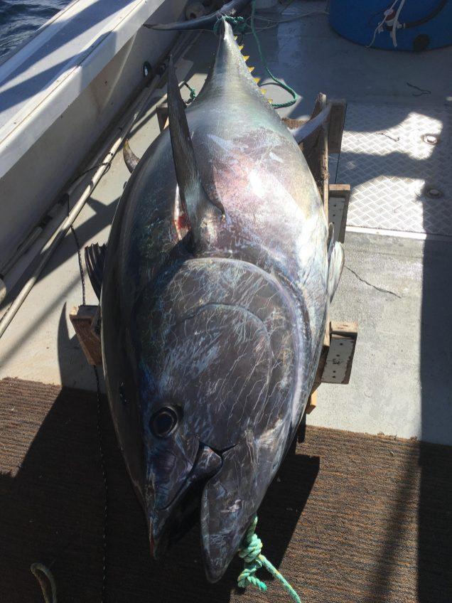 Il se pêche des thons rouges de près de 800 livres près de l'île Miscou. - Gracieuseté