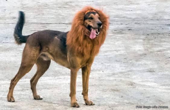 León con disfraz de perro - Sergio Más Navarro