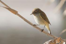 Mosquiter comú - Neus Fontova