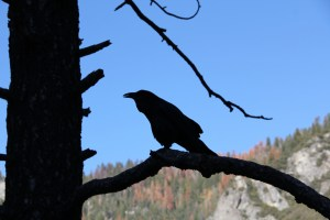 Raven, tree, mountain, photography, chronic pain management pain coping mechanisms