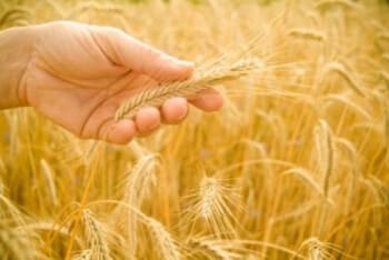 Wisdom of Wheat and Perseverance