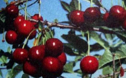 Вишня сорт Брюнетка Фото, выращивание и описание ...