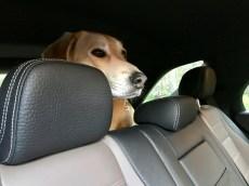 Koer jäi autosse