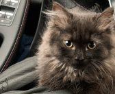 Fiesta ja Clio ehk vaata, kuidas paistab auto läbi kassi silmade