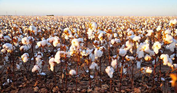 AAI-OG-Images-Cottonfields