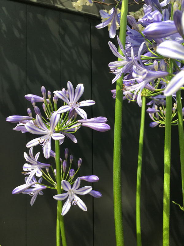 Close up van de blauwe Agapanthus - via Accessorize your Home