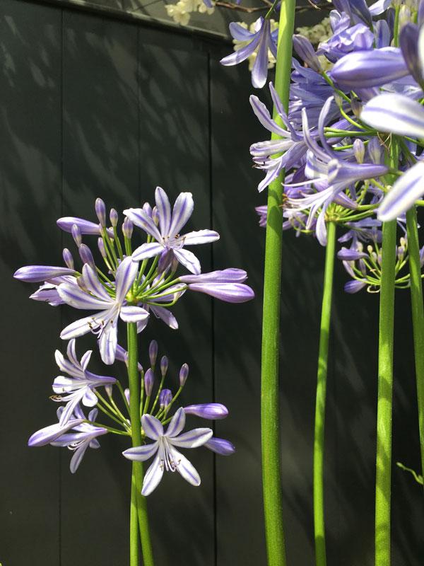 Close up van de blauwe Agapanthus - via Accessorize your Home