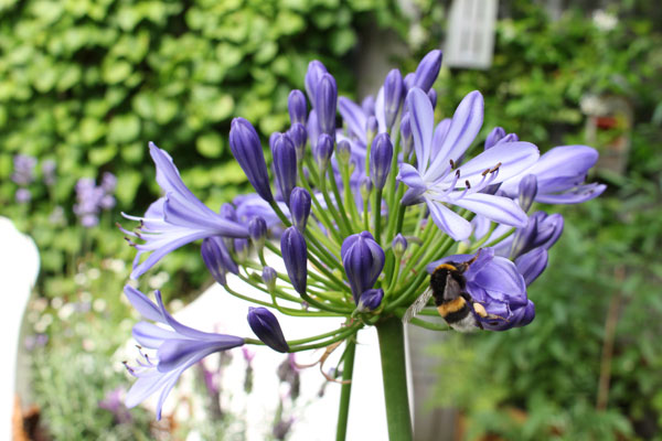 Close up van de agapanthus met hommel in de tuin van Accessorize your Home