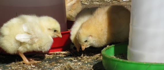 Day-old chicks