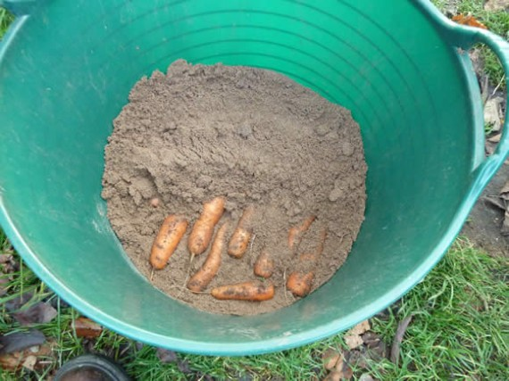 Harvesting And Storing Carrots The Accidental Smallholder