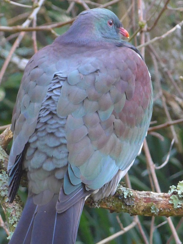 Kereru at our Kerikeri Accommodation