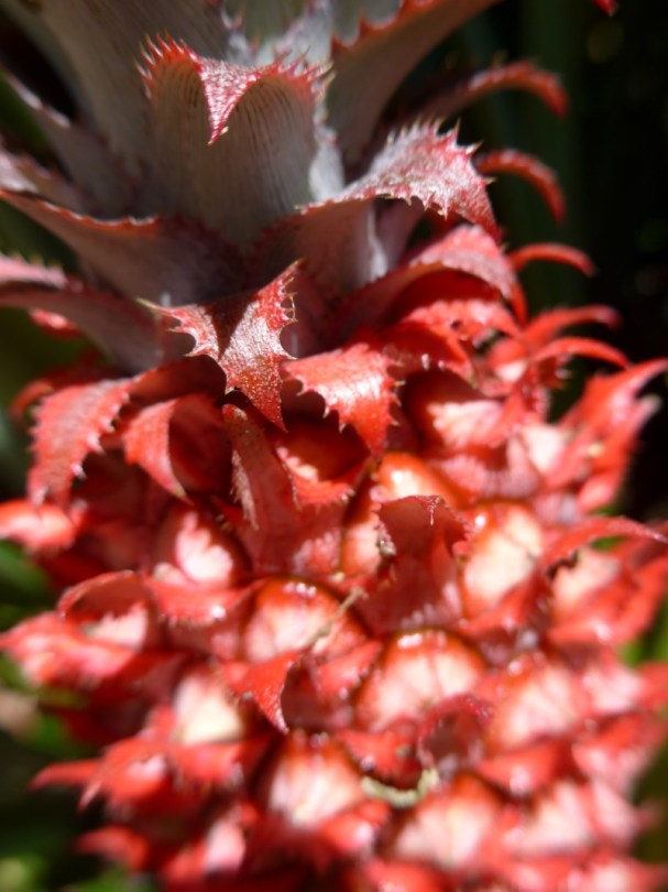 Red Pineapple (Ananas bracteatus)