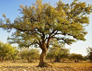 Árbol del cual se extrae el aceite de argán