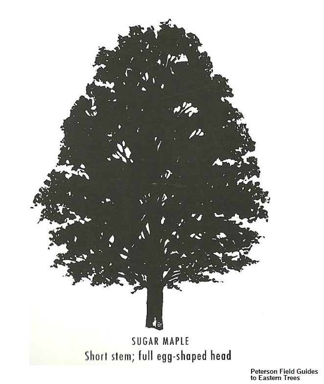 VAL 03 Sugar Maple Acer Saccharum Watershed TreeCaching