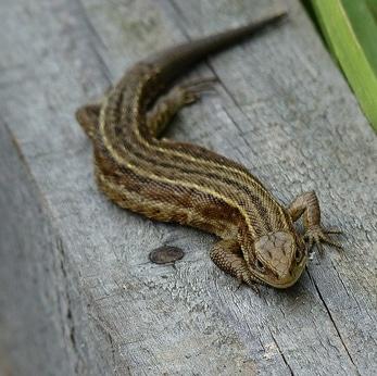 Reptile Survey Berkeley