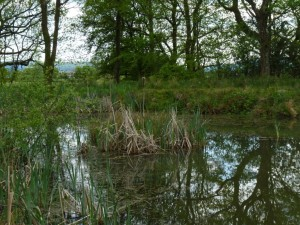 great crested newt pond