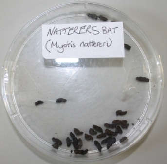 natterers bat droppings