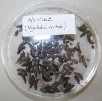 noctule bat droppings