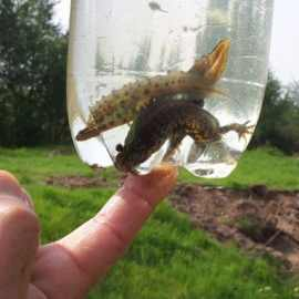 Great Crested Newt Survey Cheshire