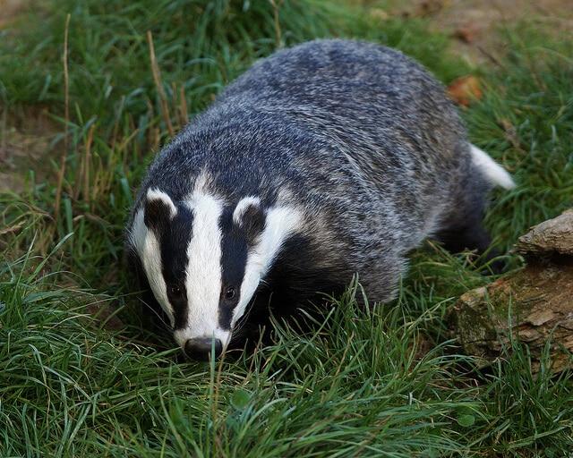 Badger Survey