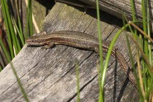Common lizard female