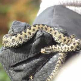 Reptile Survey South Wales