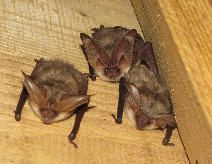 Three long-eared bats