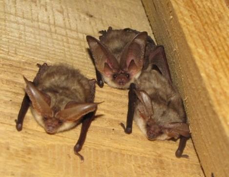 Three long-eared bats