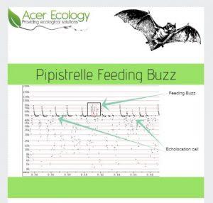 Pipistrelle Feeding Buzz