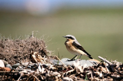 Wheatear on Bird Survey