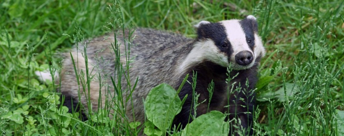 Badger recorded on survey in North-East England