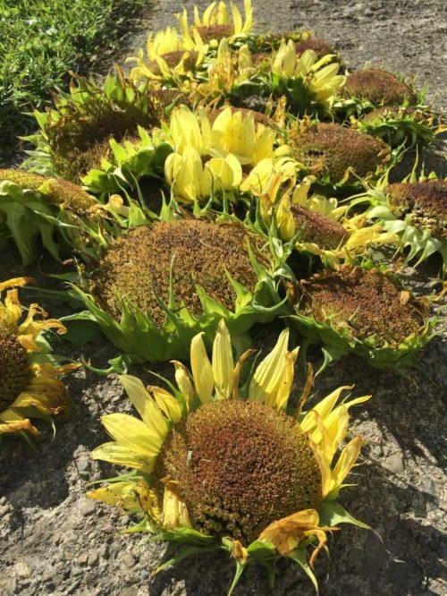 sunflower-heads