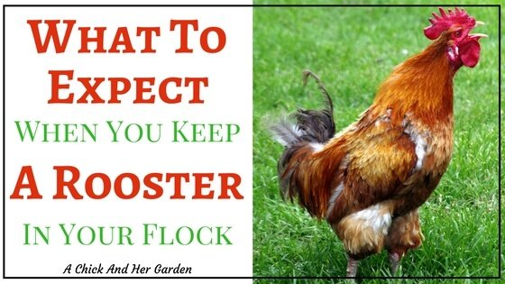 What To Expect When You Keep A Rooster In Your Flock