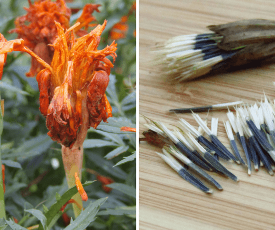 Save Your Own Marigold Seeds - A Chick And Her Garden