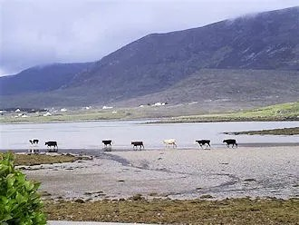 The Sound: crossing cows