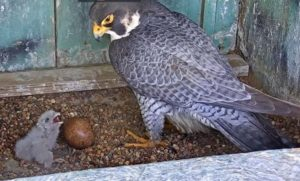 Mother and young peregrine falcon, eight stories above downtown Phoenix.