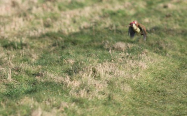 woodpecker-weasel-_3217753c