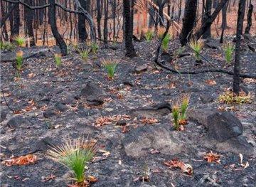 Resultado de imagen de árboles de Australia florecen entre las cenizas imagenes