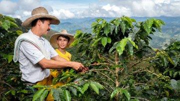 Medellín le apuesta a la producción de café en zonas urbanas y corregimientos