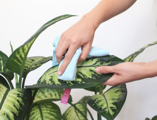 How to clean and dust houseplants