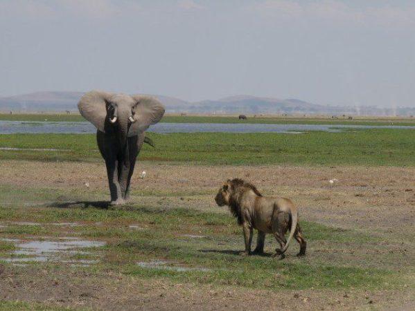 WCQ Showdown: Elephants and Atlas Lions get ready to battle