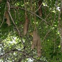 Cultivan en Holguín especie autóctona de África