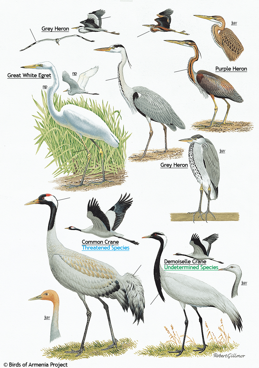 Plate 3 Herons Egret And Cranes A Field Guide To Birds Of Armenia Acopian Center For The