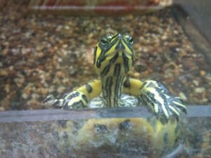 Acquario per tartarughe perfetto in 13 passi acquario facile for Tartarughe per acquario