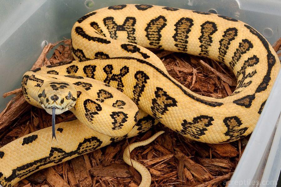 Carpet Python Alt