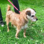 Hattie, Terrier, Female