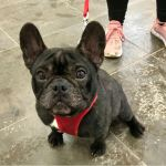 Mikhos, French Bulldog, Male, 2