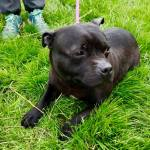 Minnie, Staffie cross, 7 years old, Female