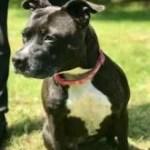 Rosie, Staffie, 6 years old, Female