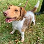 Milo, Jack Russell Terrier, 3 years old, Male